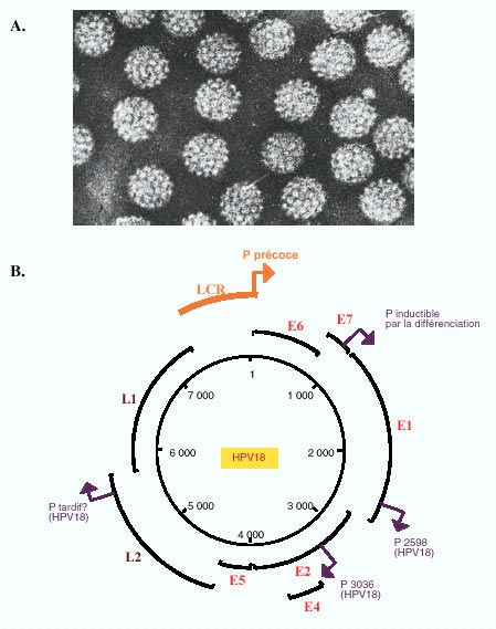 Humán papillóma onkogén vírusai Ajánlott orvosok