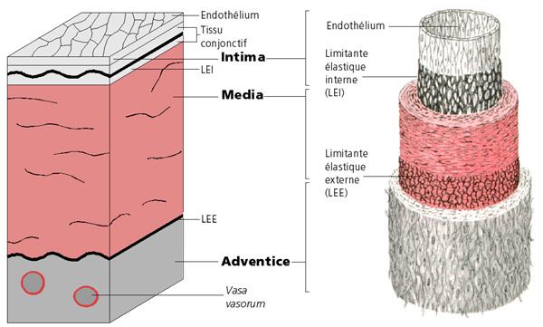 Revues physiopathologie de l 39 ath roscl rose - Quel sont les symptome d une fausse couche ...